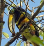 A many-banded aracari  in the ACTSPeru Canopy Walkway (photo credit:  Phil Kahler)